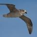 noordse-stormvogel-northern-fulmar-03