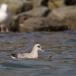 noordse-stormvogel-northern-fulmar-11