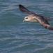 noordse-stormvogel-northern-fulmar-14