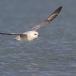 noordse-stormvogel-northern-fulmar-17