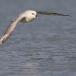 noordse-stormvogel-northern-fulmar-18