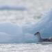 noordse-stormvogel-northern-fulmar-21