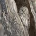 Oeraluil -  Ural Owl 08