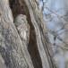 Oeraluil -  Ural Owl 09