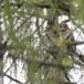 Oeraluil-Ural-owl-08