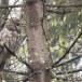 Oeraluil-Ural-owl-09