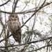 Oeraluil-Ural-owl-10