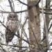 Oeraluil-Ural-owl-11