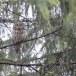 Oeraluil-Ural-owl-12