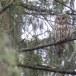 Oeraluil-Ural-owl-13