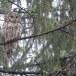 Oeraluil-Ural-owl-14