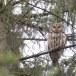 Oeraluil-Ural-owl-15