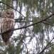 Oeraluil-Ural-owl-16