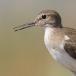 oeverloper-common-sandpiper-01