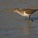 oeverloper-common-sandpiper-03