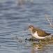 oeverloper-common-sandpiper-04