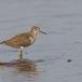oeverloper-common-sandpiper-05