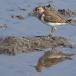 oeverloper-common-sandpiper-06
