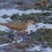 oeverloper-common-sandpiper-07