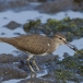 oeverloper-common-sandpiper-08