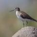oeverloper-common-sandpiper-09