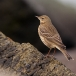 oeverpieper-rock-pipit-02