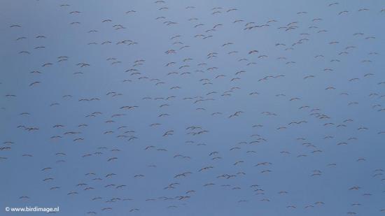 Ooievaar - White Stork 15