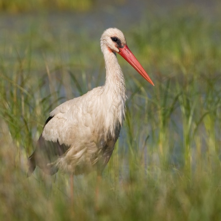 ooievaar-white-stork-06