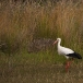 ooievaar-white-stork-03