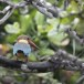 Ooievaarsbekijsvogel-Stork-billed-kingfisher-01