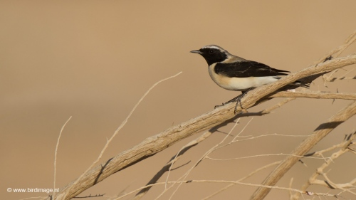 oostelijk-blonde-tapuit-black-eared-wheatear-08