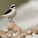 oostelijk-blonde-tapuit-black-eared-wheatear-02