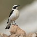 oostelijk-blonde-tapuit-black-eared-wheatear-03