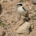 oostelijk-blonde-tapuit-black-eared-wheatear-04