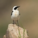 oostelijk-blonde-tapuit-black-eared-wheatear-05