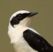 oostelijk-blonde-tapuit-black-eared-wheatear-06