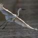 oostelijke-grote-zilverreiger-eastern-great-egret-01