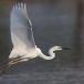 oostelijke-grote-zilverreiger-eastern-great-egret-03