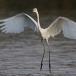 oostelijke-grote-zilverreiger-eastern-great-egret-04