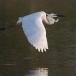 oostelijke-grote-zilverreiger-eastern-great-egret-06