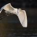 oostelijke-grote-zilverreiger-eastern-great-egret-08