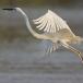 oostelijke-grote-zilverreiger-eastern-great-egret-10
