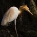 oostelijke-koereiger-eastern-cattle-egret-03