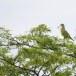 Oranjeborstpapegaaiduif-Orange-breasted-Green-Pigeon-03