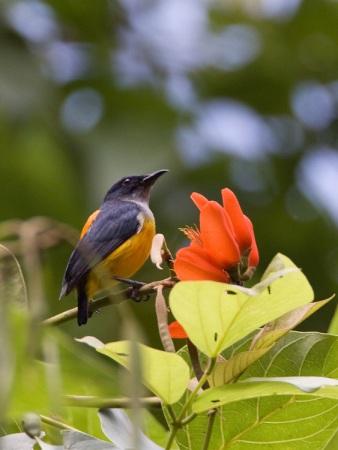 oranjebuikhoningvogel-orange-bellied-flowerpecker-01