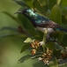ornaathoningzuiger-variable-sunbird-01