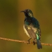 ornaathoningzuiger-variable-sunbird-02