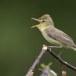 Orpheus-spotvogel-Melodious-Warbler-06