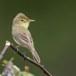 Orpheus-spotvogel-Melodious-Warbler-07