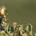 Orpheus-spotvogel-Melodious-Warbler-08